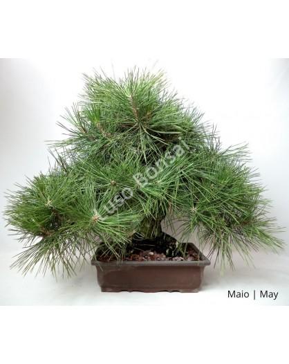 Pinus Thumbergii 36 anos