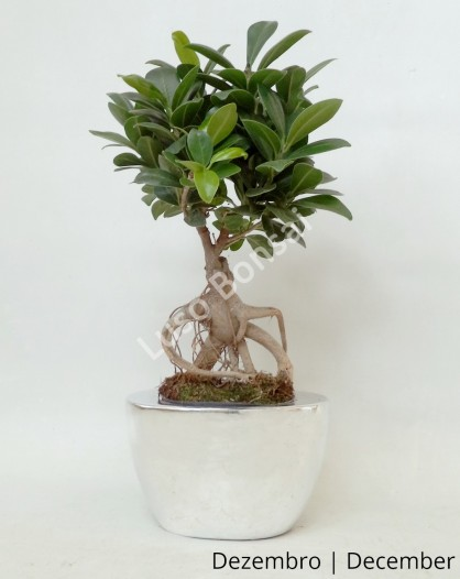 Ficus Ginseng em Vaso Silver