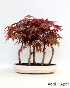 Acer Palm. Atropurpureum 15 anos