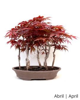 Acer Palmatum Atropurpureum 17 anos