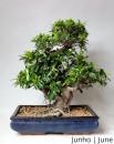 Ficus  20 anos