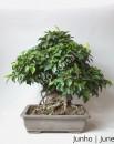Ficus Retusa 30 anos