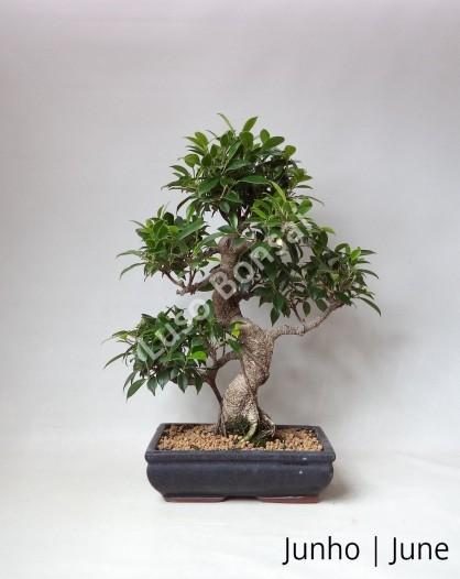 Ficus Retusa 17 anos