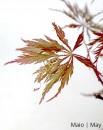 Acer Palmatum Dissectum Red 7 anos