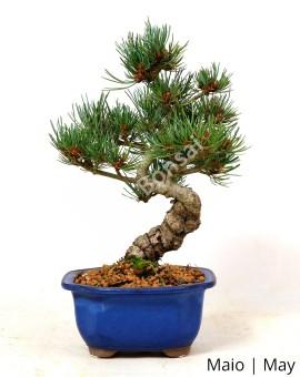 Pinheiro Pentaphylla 27 anos B