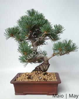 Pinheiro pentaphylla 29 anos