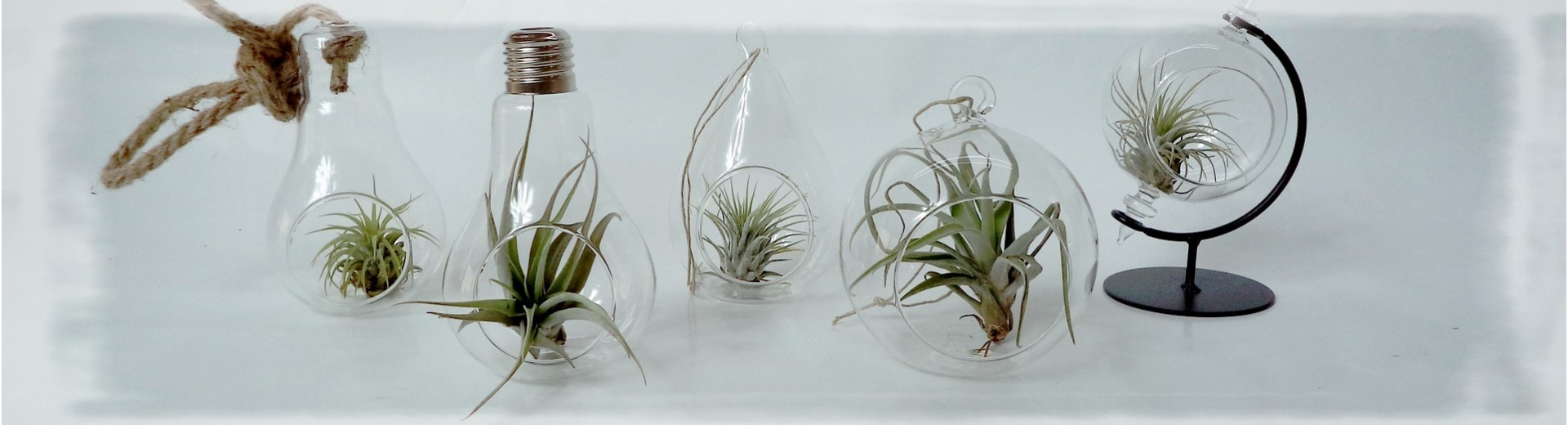 Tillandsias e Secret Of Desert